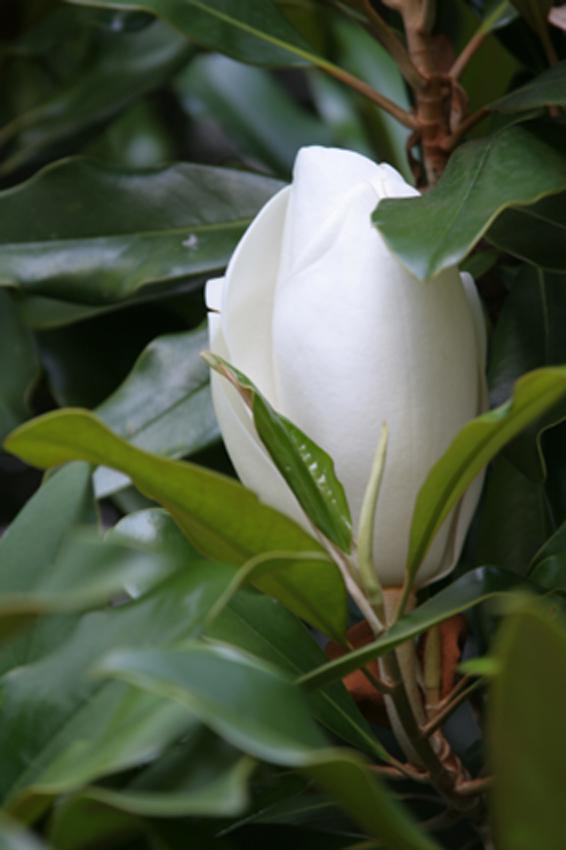 http://www.lambre-altay.narod.ru/images/magnoliya.jpg